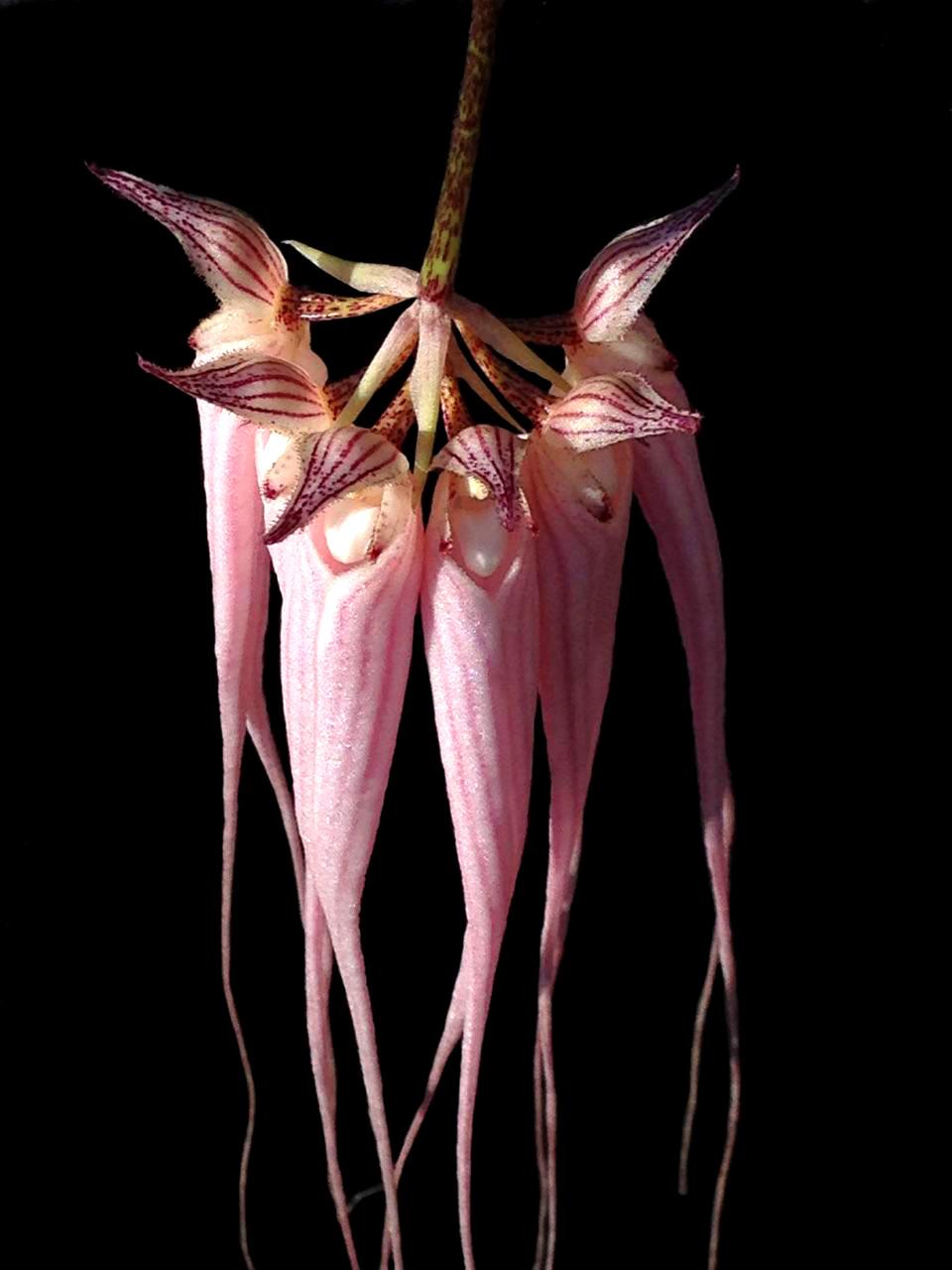Bulbophyllum Longissimum Orchid