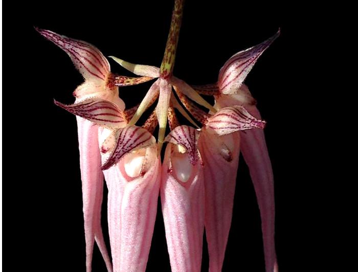 Orchid-Bulbophyllum Longissimum | Sandhills NC
